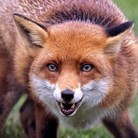 Red Fox by Ceri Jones - Animals Other Mammals ( red, fox, nature, british, wildlife, portrait )