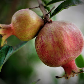 Pomegranates by Gee Emm - Nature Up Close Gardens & Produce (  )