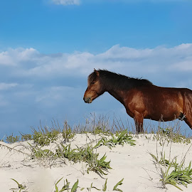 Dune with a view by Kim Rogers-Krahel - Animals Horses ( wild horse, obx, carova, nc, beach 4x4 area, horse )