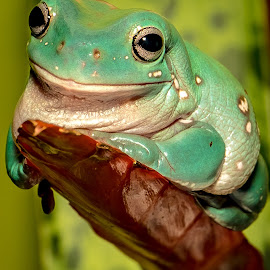 Smile! by Myra Brizendine Wilson - Animals Reptiles ( whites tree frog, frog, reptile, animal )