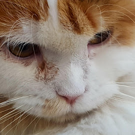 The pouting face by Molly Swoboda - Instagram & Mobile Android ( calico, face, maine coon, whiskers, close up )