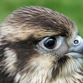 Bird of prey by John More - Animals Birds ( bird, bird of prey, beak, close up, hawk )