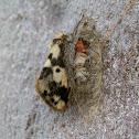 Clouded Footman Moth -male beside cocoon