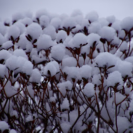 Snow on Azalea Bush  by Lynn Andrasko - Nature Up Close Other plants