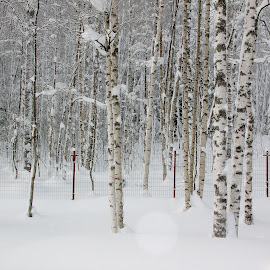 Stand of Burch Trees by Irina Kartashova - Landscapes Forests ( birch, winter, snow, trees, forest,  )