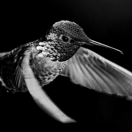 The Silver Inquisitor by Briand Sanderson - Black & White Animals ( bird, adult male, natural light, black and white, hummingbird, anna's hummingbird, animal,  )