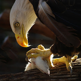 After The Catch by Jack Powers - Animals Birds ( eagles )