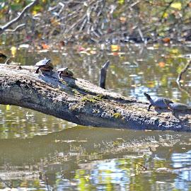 Turtles by Jaliya Rasaputra - Animals Reptiles