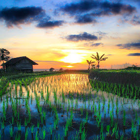 rice field by Rahmad Himawan - Landscapes Sunsets & Sunrises ( field, nature, sunset, reflections, landscape,  )