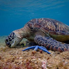 Friendly Turtle by Sergei Tokmakov - Animals Sea Creatures ( apo, nature, underwater, sea turtle, cebu, sea, tourism, travel, beach, philippines, turtle )