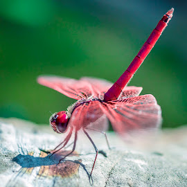 Red Dragonfly by Tobias Andersson - Animals Insects & Spiders ( macro, sitting, red, green, rock, dragonfly, close up, china )