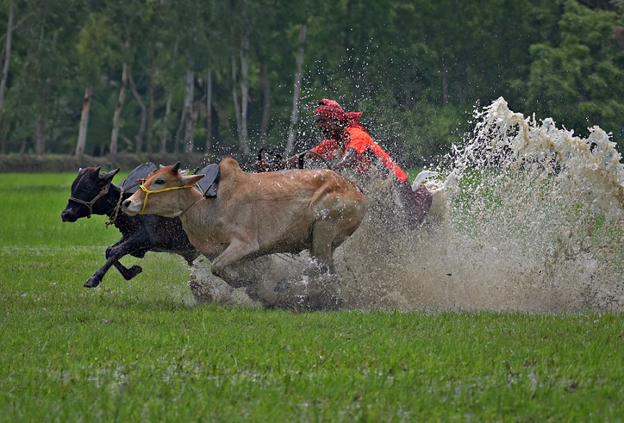Bull race by Shibram Nag - Sports & Fitness Other Sports ( travel photography, close up, sports, nature, animals )