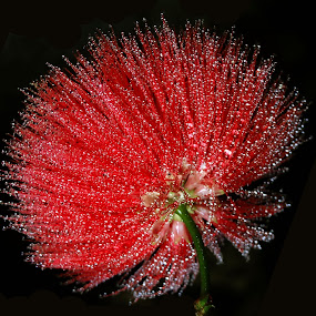 Dew covered by Asif Bora - Nature Up Close Flowers - 2011-2013 ( flower, nature, flowers, , drops, red, white, pwc87 )