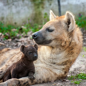 Hyena Idyll by Lajos E - Animals Other Mammals ( breed, spotted, scavenger, african, young, cub, carnivore, resting, crocute, mother, female, puppy, hyenas, baby, rest, africa, carnivora, lie, hyena, offspring,  )