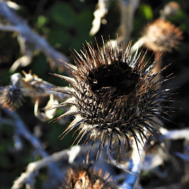 Dried Thistle by Carol Leynard - Nature Up Close Other plants ( prickle, dried thistle, thistle, plant, weed )
