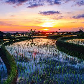 RICE FIELD by Rahmad Himawan - Landscapes Sunsets & Sunrises ( rice, sunset, reflections, sunshine, sunrise, sunlight, landscapes,  )