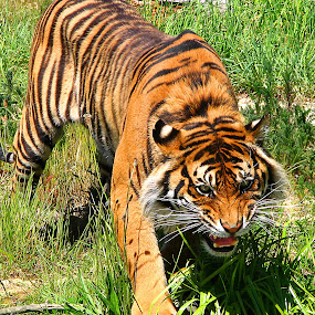 Sumatran Tiger by Phil Le Cren - Animals Lions, Tigers & Big Cats ( big cat, cat, tiger, sumatran tiger, , zoowatch, zoo, animals )