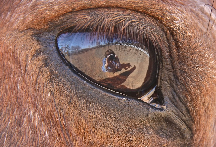 Cimmie Smith by Rose Smith - Animals Horses ( thanks a lot.  this is my beautiful cimmie.  he has the most amazing eye reflection ... he loves the cameras also lol, thanks kindly.  cimmie is my boy, cimmie smith )
