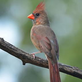 Pretty Lady by Steven Liffmann - Animals Birds ( bird, cardinal, female, portrait, closeup,  )