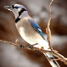 Blue Jay by Paul Mays - Animals Birds