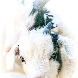 Baby Goat by Paulo Peres - Animals Other Mammals ( nature, goat, baby, fabens, cute, animal,  )