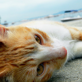 by Leonardo Cardoso - Animals - Cats Kittens ( cat, yellow cat, sea )