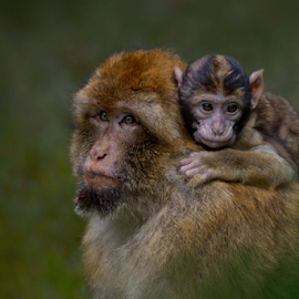 Father and son by Michael Milfeit - Animals Other Mammals ( papionini, macaca sylvanus, aballou akhatar wald, meerkatzenverwandte, makake, pavianartige, berberaffe, marokko, magot )