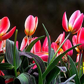 Open  for  spring by Gordon Simpson - Flowers Flower Arangements