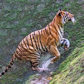 Jump..... by MazLoy Husada - Animals Lions, Tigers & Big Cats