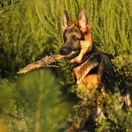 Baby Hope by Joseph Balson - Animals - Dogs Playing ( stick, play, german shepherd, dog, hope )