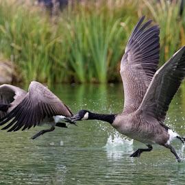 Take Off by Raphael RaCcoon - Animals Birds ( bird, flying, waterfowl, wings, geese )