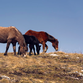 THREE by Andrija Vrcan - Animals Horses ( horses, wild horses,  )