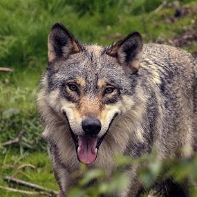 Grey wolf! by Lillian Utstrand Gulliksen - Animals Other Mammals ( ulv, gråbein, grey wolf, wolf, canidae, canis lupus )