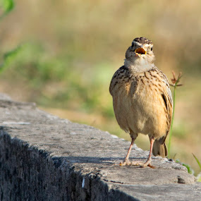 A Talkative Skylark by Sutapa Karmakar - Animals Birds