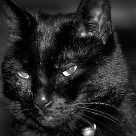Charlie Cat by Graham Hill - Animals - Cats Portraits ( cat, black and white, cat portrait, charlie, charlie cat, close up, black cat,  )