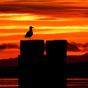 Early Bird by Campbell McCubbin - Landscapes Sunsets & Sunrises ( red, dawn, seagull, silhouette, sunrise )