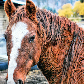 American Curly Horse by Don Mann - Animals Horses