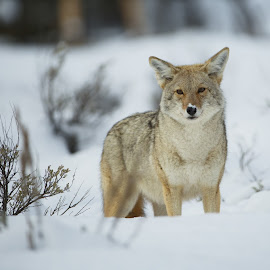 Coyote by Joe Vargas - Animals Other Mammals ( coyote, yellowstone, winter, wyoming, 2016, snow, wildlife )