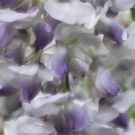 Wisteria by Brenda Hooper - Abstract Macro ( abstract, macro, blooms, wisteria, flowers, rain,  )