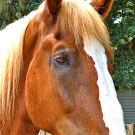Handsome Boy by Cal Brown - Animals Horses ( horse, up close, animal, portrait )
