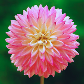 White & Pink Dahlia by Jim Downey - Flowers Single Flower ( pink, green, whte, dahlia, petals )