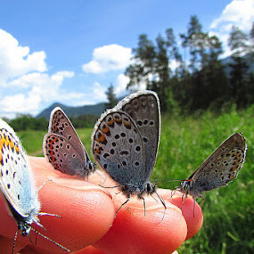 Butterflies by Lidija P - Animals Insects & Spiders (  )