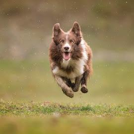 It's raining again... by Claudio Piccoli - Animals - Dogs Running ( dogsinaction, border collie, action, run, running, rain )