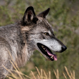 by Lisa Coletto - Animals Other Mammals ( wolf, wild canid, mammal, portrait, animal )