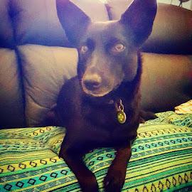 #cillathekelpiedog #kelpiesofinstagram #kelpiesrule #onthelounge  #goodmorningpost #australianworkingdog #dogsofinstagram by Barry Cunningham - Animals - Dogs Portraits