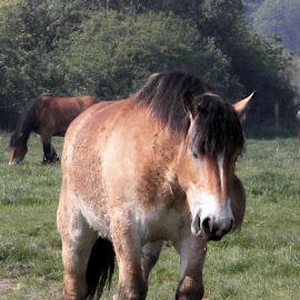 BOULONNAIS 2 by Ramade Genevieve - Animals Horses (  )