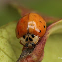 Multcolored Asian Lady Beetle