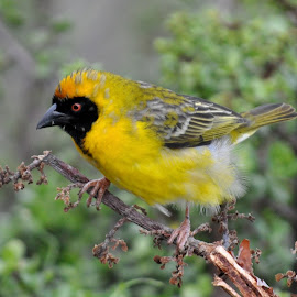 Mask on Yellow by DJ Cockburn - Animals Birds ( southern masked weaver, addo, south africa, male, yellow, perching, eastern cape, africa, ploceus velatus )