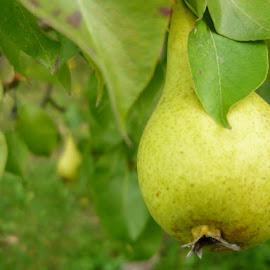 Pear by Helena Moravusova - Nature Up Close Gardens & Produce ( pear, nature, fruit )