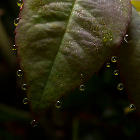 after rain........ by Zainuddin Junidil - Nature Up Close Leaves & Grasses ( water, macro, dew, leaves, garden )